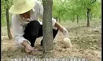 视频: 枣树开甲技术