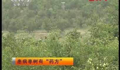 """中央电视台-[绿色时空]患病枣树有""""药方""""!枣疯病防治和解决办法"""