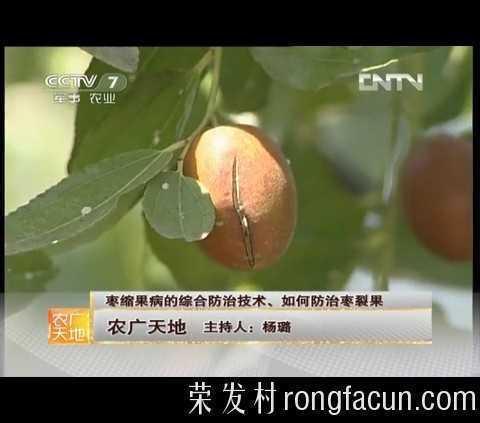中央电视台-《农广天地》 枣缩果病的综合防治技术、如何防治枣裂果-大枣种植技术-技术视频-荣发村 第2张