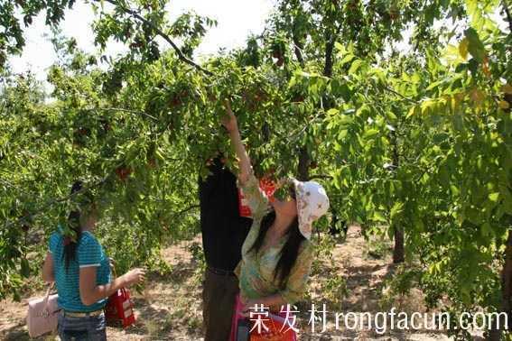 大枣种植技术之枣树树形对产能的影响-农业技术-实用技术-荣发村 第2张