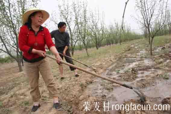 大枣种植技术之枣树灌溉与排水措施-大枣种植技术-实用技术-荣发村 第2张