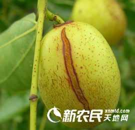 大枣种植技术之防止大枣裂果的有效措施-四川大枣-实用技术-荣发村 第2张