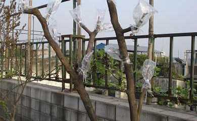 农业技术之枣树高接换头技巧