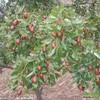 [大枣种植技术]枣树生产中存在的主要问题及解决对策