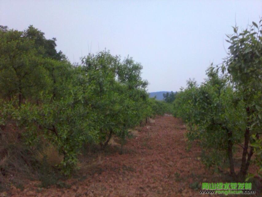 【荣发美景】在丰收的期盼中的荣发大枣 种植园-种植园-荣发美景-荣发村 第20张