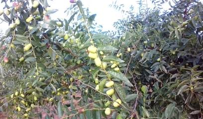 【荣发美景】在丰收的期盼中的荣发大枣 种植园