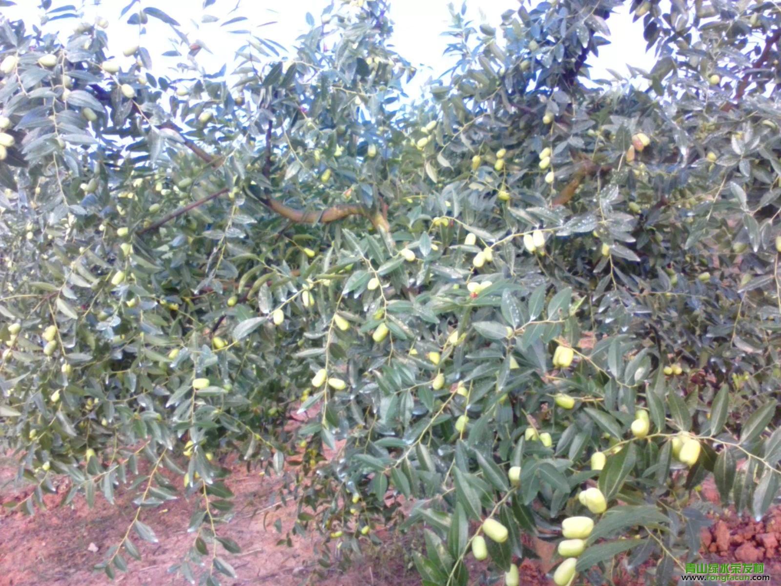 【荣发美景】在丰收的期盼中的荣发大枣 种植园-种植园-荣发美景-荣发村 第3张