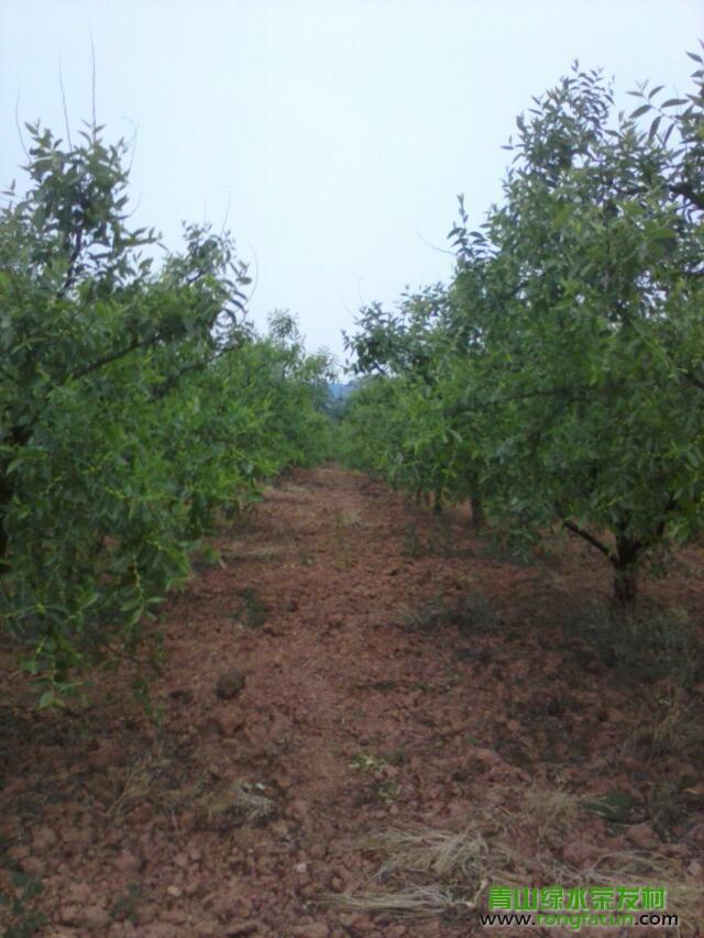 【荣发美景】在丰收的期盼中的荣发大枣 种植园-种植园-荣发美景-荣发村 第9张