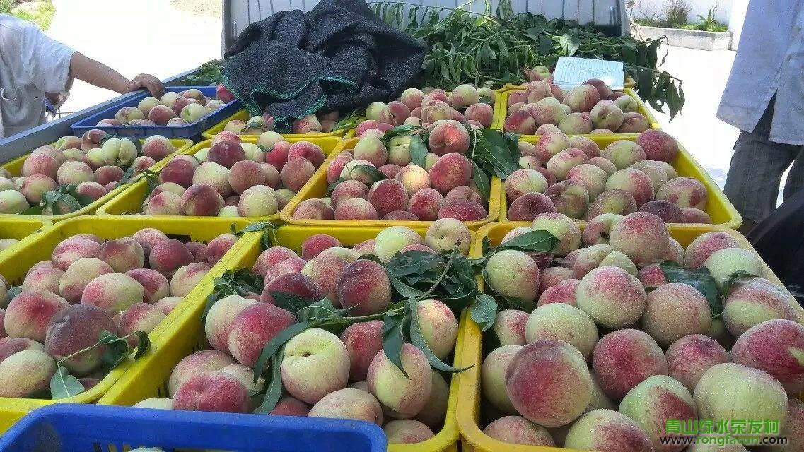 【水果之乡】荣发村的桃子又成熟了-桃子-荣发美食-荣发村 第2张