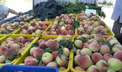 【水果之乡】荣发村的桃子又成熟了