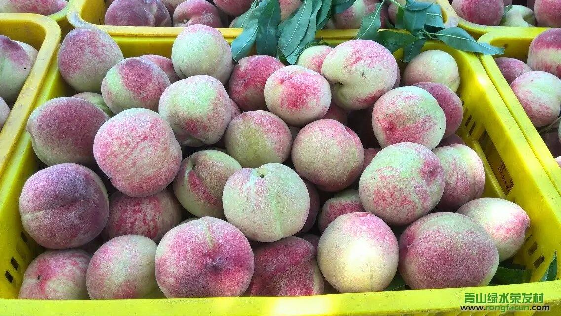 【水果之乡】荣发村的桃子又成熟了-桃子-荣发美食-荣发村 第7张