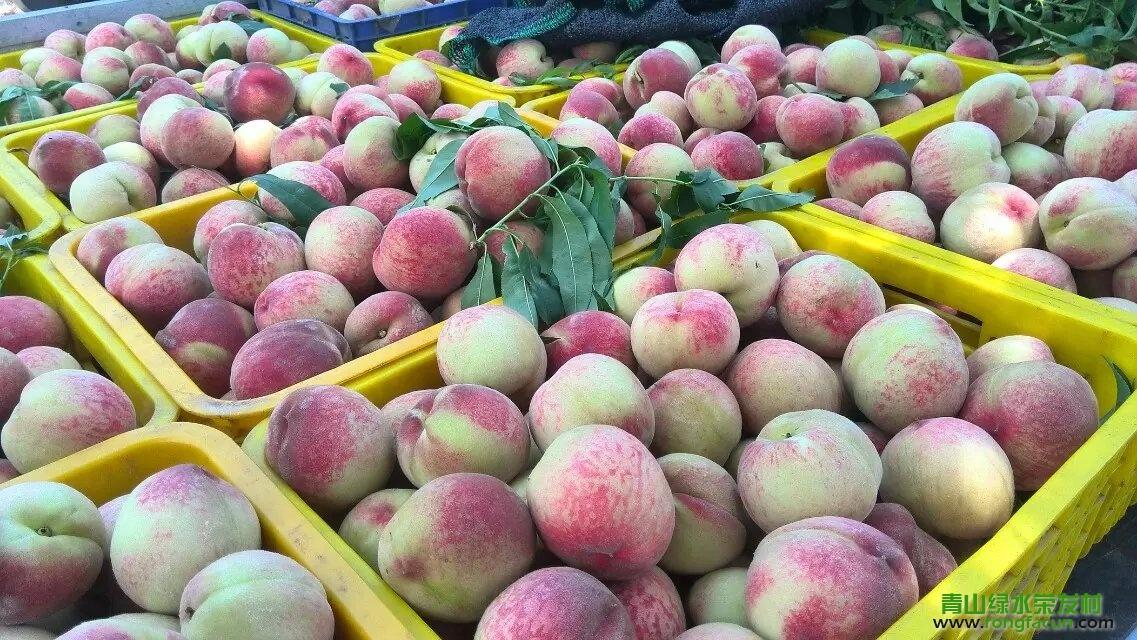【水果之乡】荣发村的桃子又成熟了-桃子-荣发美食-荣发村 第10张
