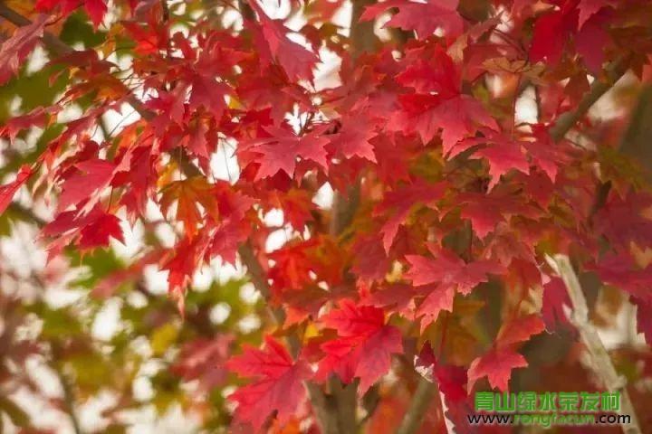 绵阳市区最近的红叶观赏点!我在游仙魏城等你哦~~--魏城新闻-荣发村 第24张