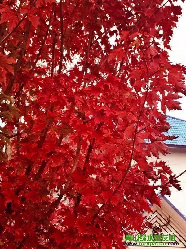绵阳市区最近的红叶观赏点!我在游仙魏城等你哦~~--魏城新闻-荣发村 第26张