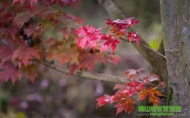 绵阳市区最近的红叶观赏点!我在游仙魏城等你哦~~--魏城新闻-荣发村 第36张