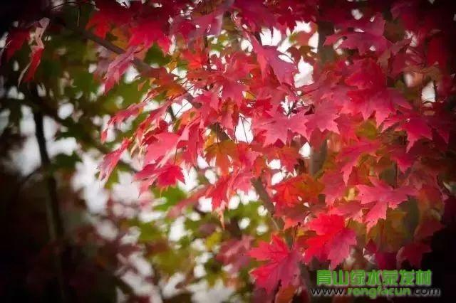 绵阳市区最近的红叶观赏点!我在游仙魏城等你哦~~--魏城新闻-荣发村 第40张
