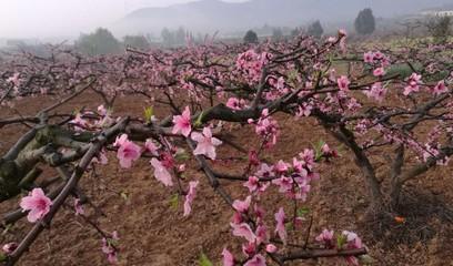 太美了,我的村!桃花儿朵朵开!