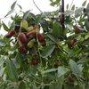【红枣大枣种植】枣树的疏花疏果及合理负载解析