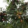 【红枣大枣种植】大枣栽培管理与种植维护历