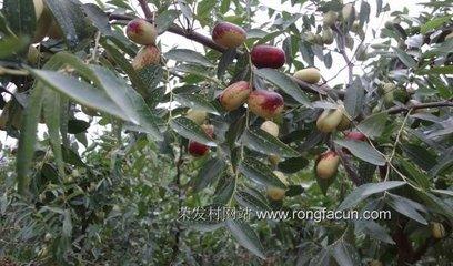 南方鲜枣无公害生产要选生物农药