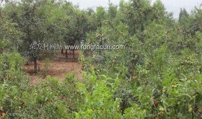 枣树种植气候条件分析