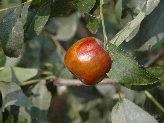 【红枣大枣种植】全国枣树常见病虫害图谱-枣树-治病防病-荣发村 第6张
