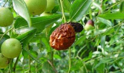 枣树常见病害的防治