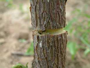 【红枣大枣种植】枣树开甲环割丰产技术关键要领-枣树开甲-实用技术-荣发村 第2张